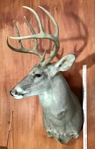 Whitetail Deer Taxidermy Mount