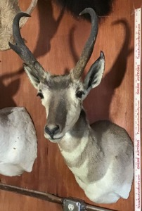 Pronghorn Antelope Taxidermy Mount