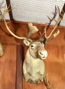 Caribou Taxidermy Mount