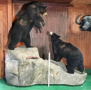 Pair of Black Bears Taxidermy Mount