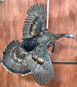 Wild Turkey Taxidermy Mount