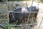 Male Pot Belly Pig with Cage